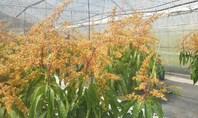 マンゴーの花満開