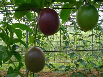 パッションフルーツの写真です